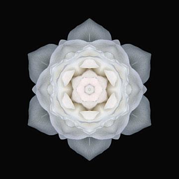 JANUARY: White Rose