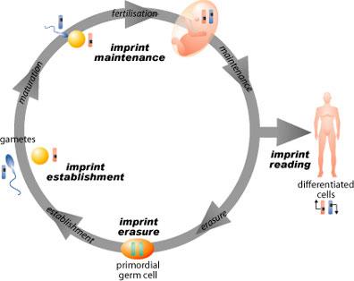 imprintcycle.jpg