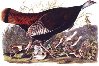 Wild-Turkey-VI.jpg