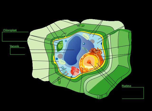 Plant_cell_structure-en